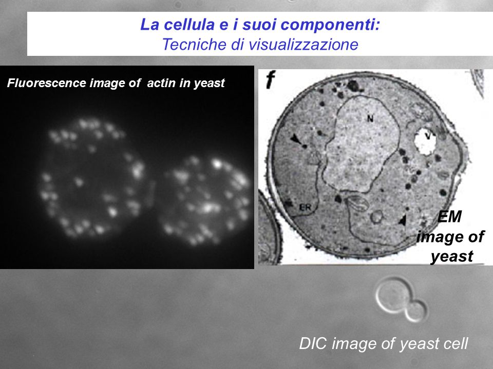 La cellula e i suoi componenti: