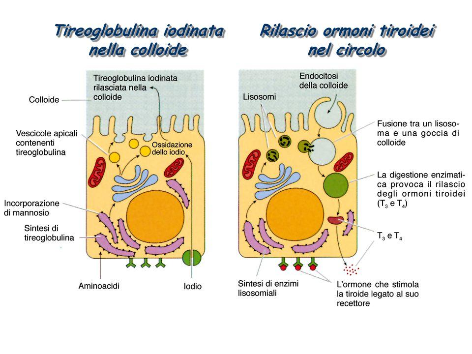 Tireoglobulina iodinata nella colloide