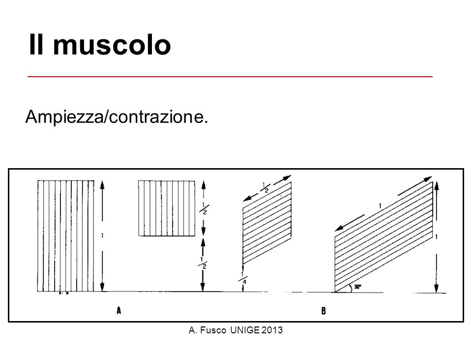 Il muscolo Ampiezza/contrazione. A. Fusco UNIGE 2013