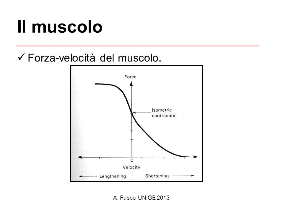 Il muscolo Forza-velocità del muscolo. A. Fusco UNIGE 2013