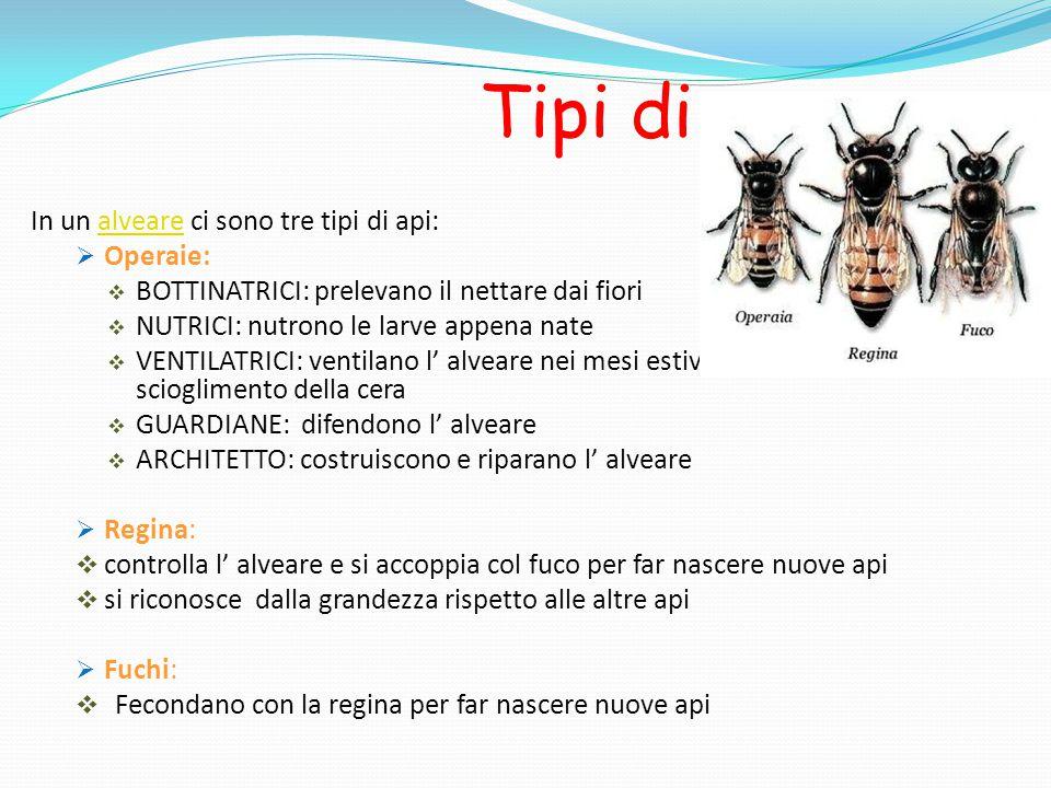 Tipi di ape In un alveare ci sono tre tipi di api: Operaie: