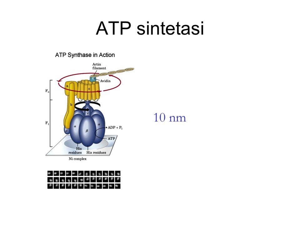 ATP sintetasi 10 nm