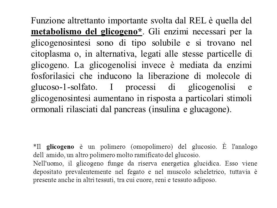 Funzione altrettanto importante svolta dal REL è quella del metabolismo del glicogeno*. Gli enzimi necessari per la glicogenosintesi sono di tipo solubile e si trovano nel citoplasma o, in alternativa, legati alle stesse particelle di glicogeno. La glicogenolisi invece è mediata da enzimi fosforilasici che inducono la liberazione di molecole di glucoso-1-solfato. I processi di glicogenolisi e glicogenosintesi aumentano in risposta a particolari stimoli ormonali rilasciati dal pancreas (insulina e glucagone).