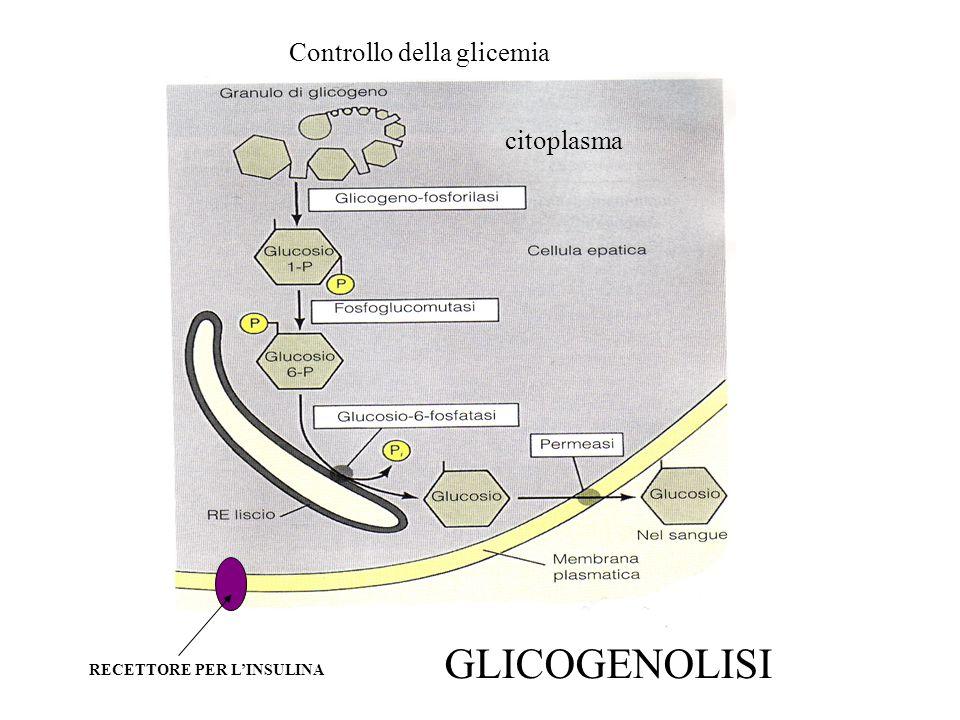 GLICOGENOLISI Controllo della glicemia citoplasma