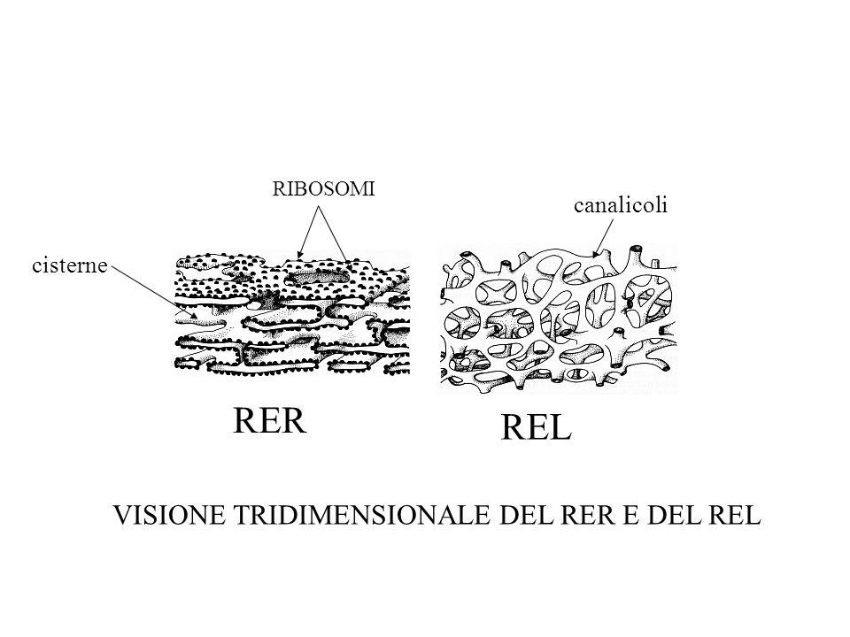 RER REL VISIONE TRIDIMENSIONALE DEL RER E DEL REL canalicoli cisterne