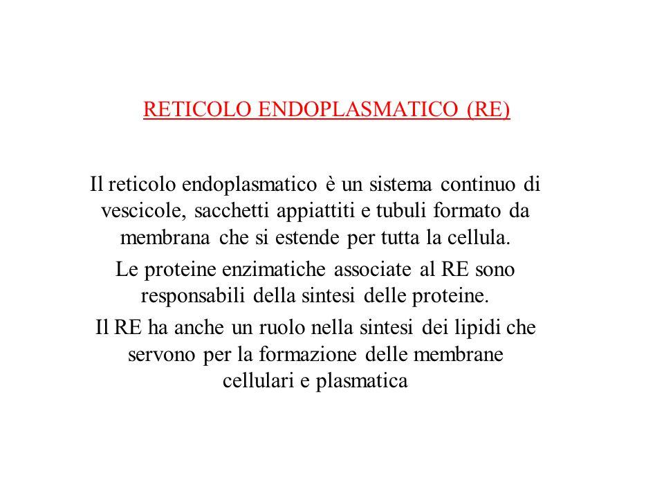 RETICOLO ENDOPLASMATICO (RE)