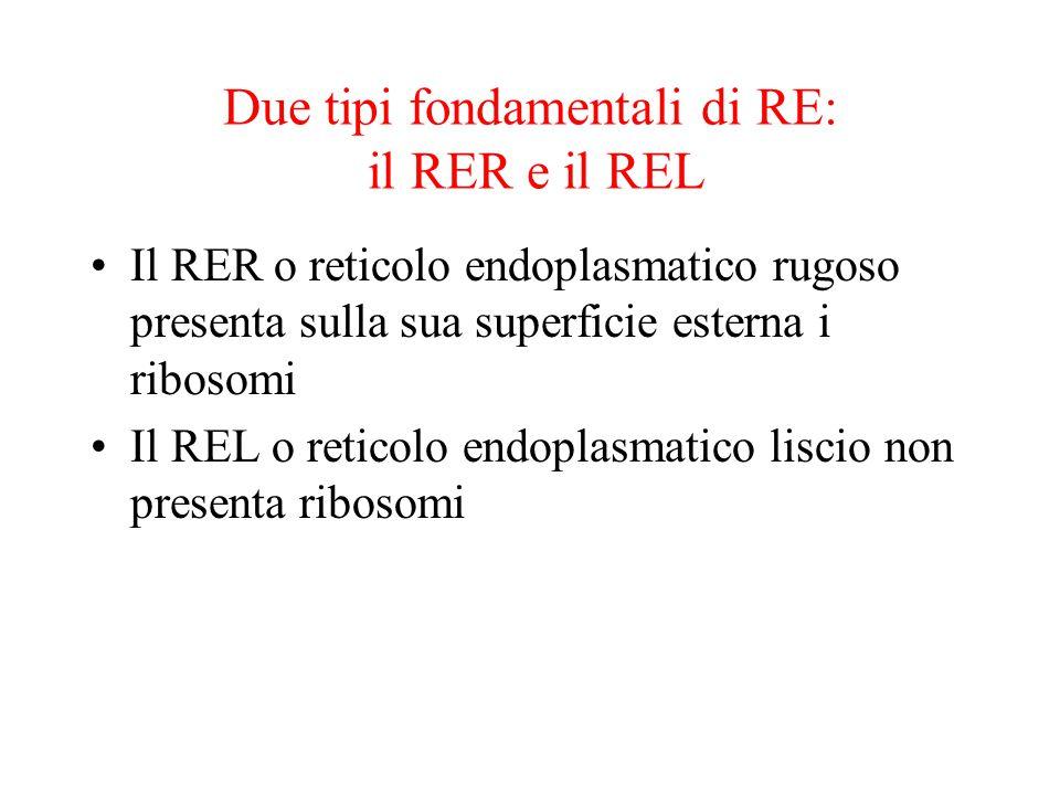 Due tipi fondamentali di RE: il RER e il REL
