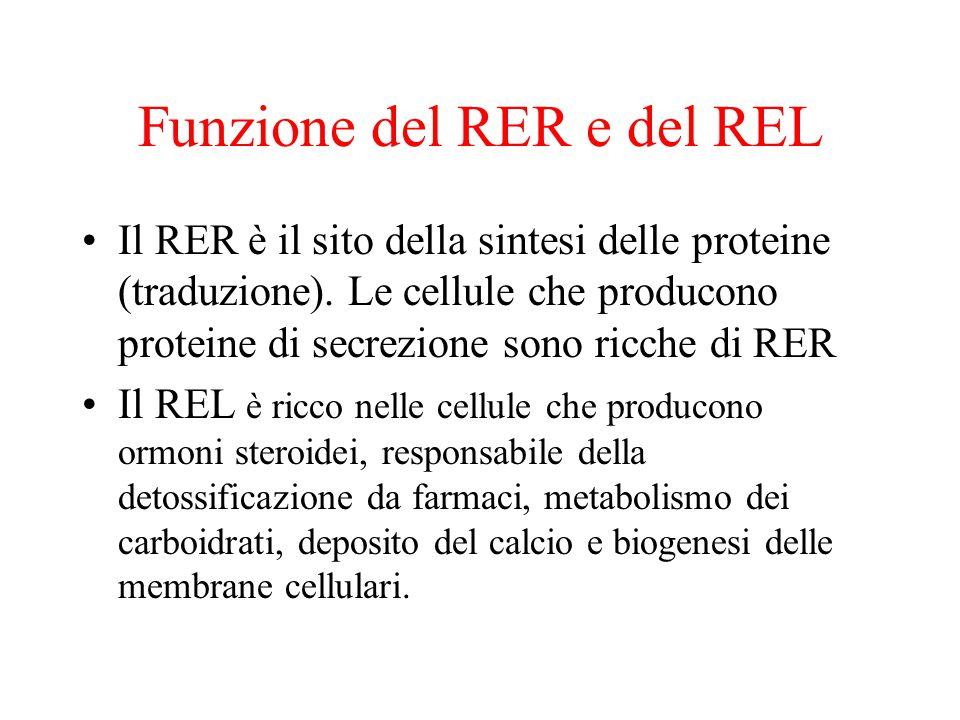 Funzione del RER e del REL