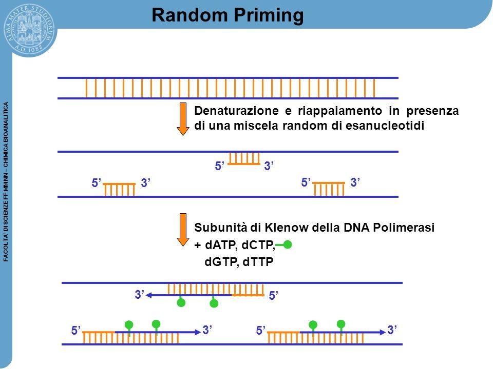 Random Priming Denaturazione e riappaiamento in presenza di una miscela random di esanucleotidi. 5'