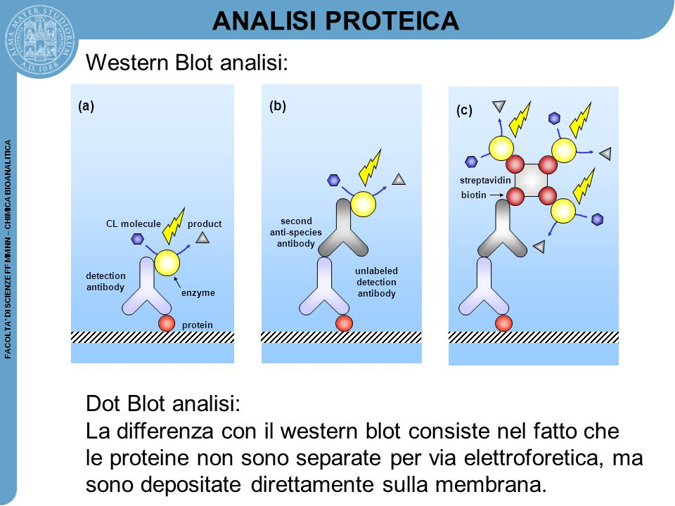 ANALISI PROTEICA Western Blot analisi: Dot Blot analisi: