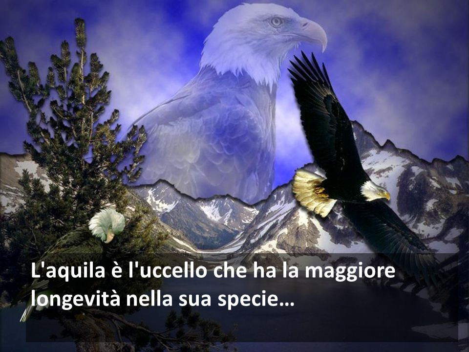 L aquila è l uccello che ha la maggiore longevità nella sua specie…