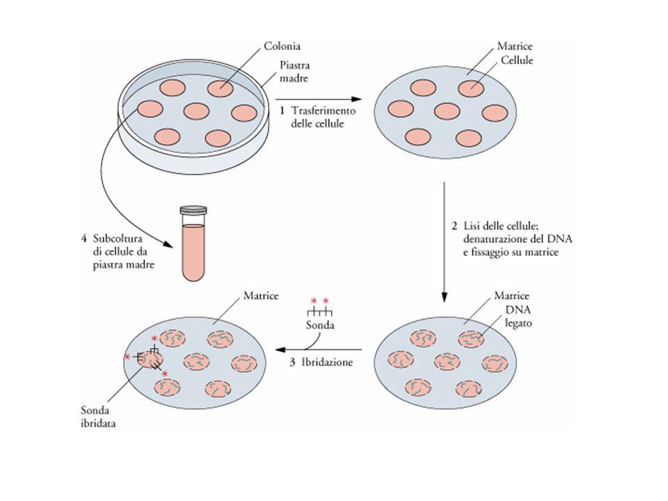 Lo screening di una genoteca con una sonda DNA marcata (ibridazione di colonie).
