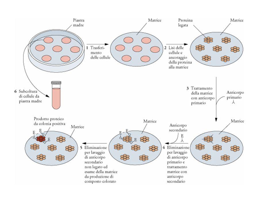 Lo screening immunologico di una genoteca