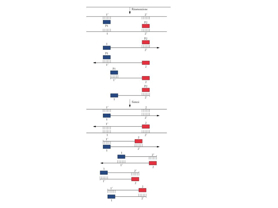 Terzo ciclo della PCR.