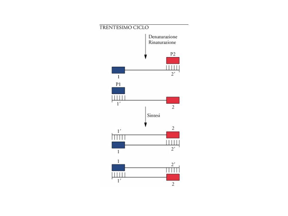 Trentesimo cilco della PCR