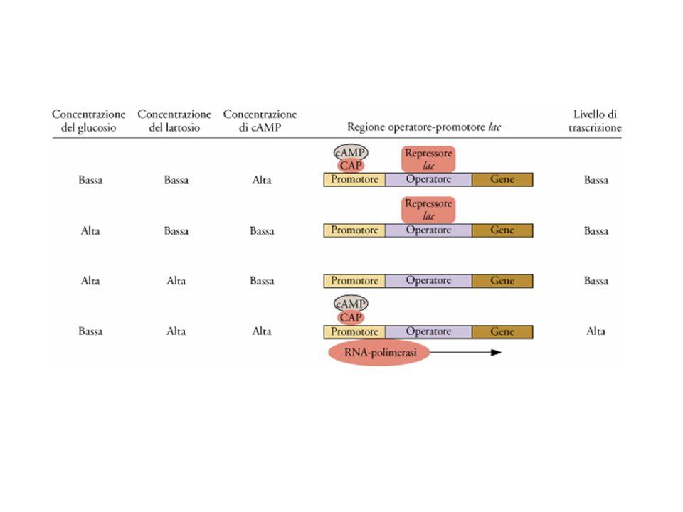 Rappresentazione diagrammatica dell'effetto della concentrazione di glucosio, lattosio, cAMP nel mezzo di coltura sul livello di trascrizione ad opera del promotore lac di E.coli.