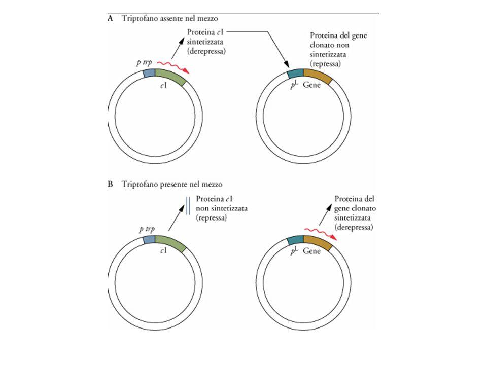Doppio sistema plasmidico per controllare il promotore pl di Lambda regolando il repressore cI con il triptofano.