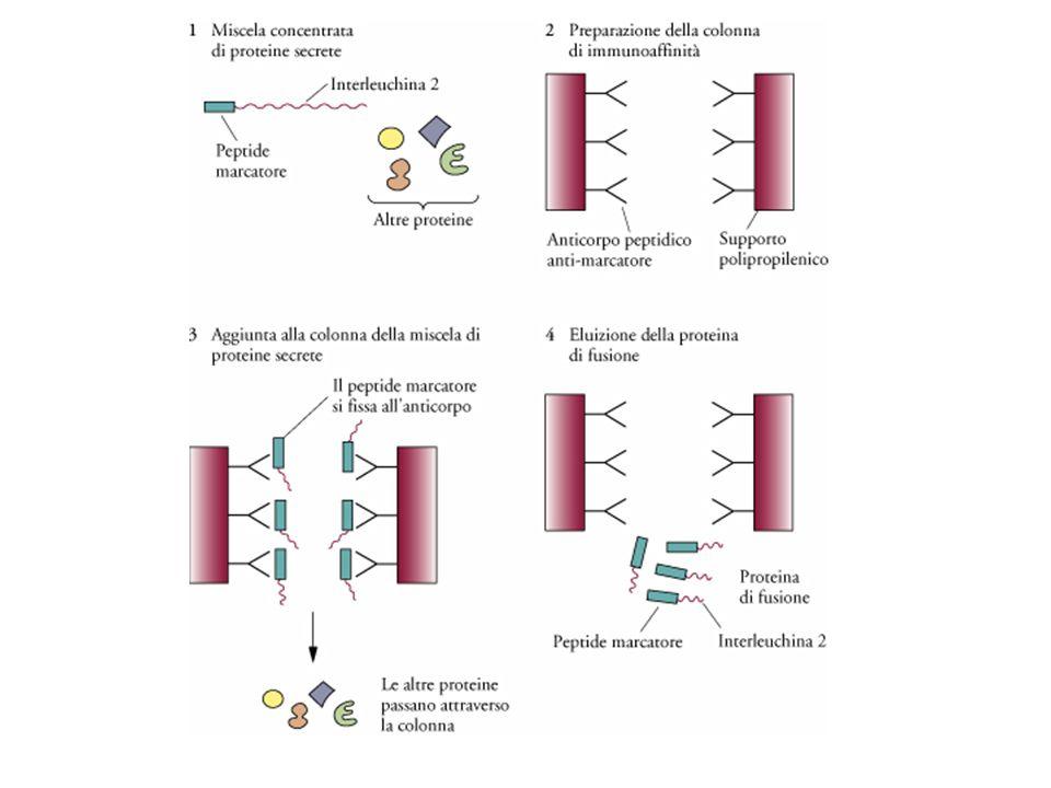 Purificazione cromatografica per immunoaffinita' di una proteina di fusione.