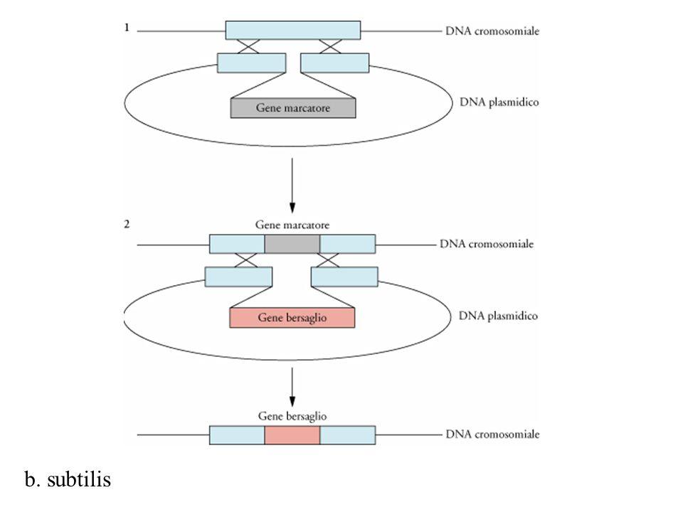 L'inserimento di un gene estraneo in un sito esclusivo predeterminato sul cromosoma di b. subtilis. Nella fase 1 si integra mediante ricombinazione omologa un gene marcatore nel DNA cromosomiale della cellula ospite. Nella fase 2 si sostituisce il gene marcatore con quello bersaglio. Il processo si puo' poi reiterare con diverse regioni non essenziali del DNA cromosomiale di b. Subtilis