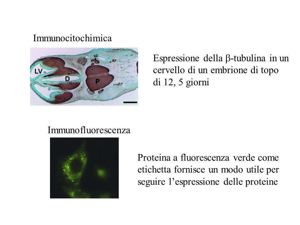 Espressione della -tubulina in un cervello di un embrione di topo