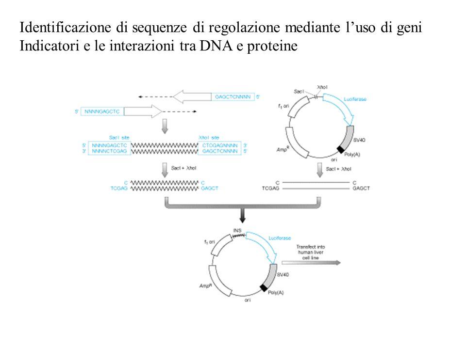Identificazione di sequenze di regolazione mediante l'uso di geni