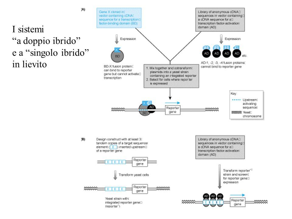 I sistemi a doppio ibrido e a singolo ibrido in lievito