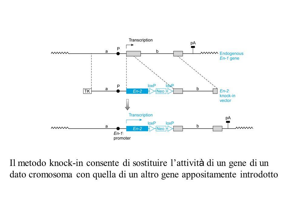 Il metodo knock-in consente di sostituire l'attività di un gene di un