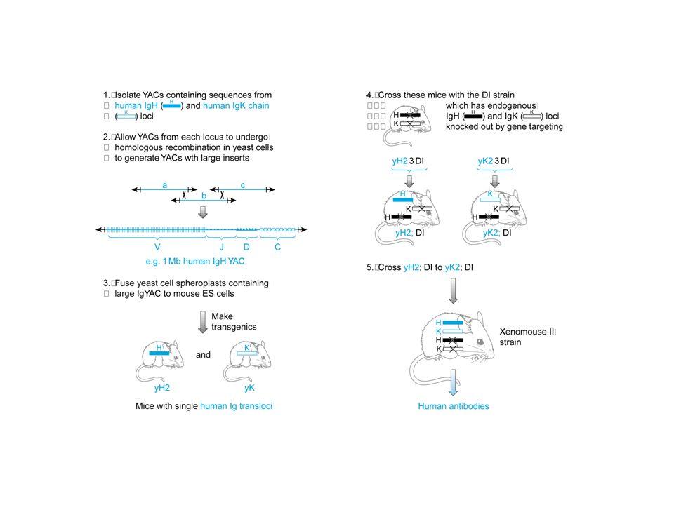 Uso della transgenesi mediata da Yac per produrre un topo con un repertorio di anticorpi umani