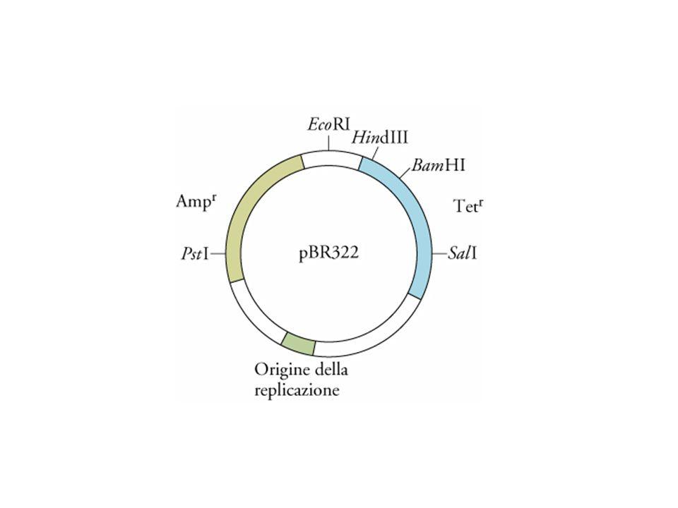 Il vettore di clonazione plasmidico pBR322