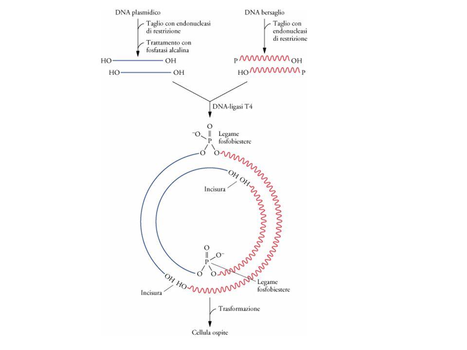 La clonazione di DNA estraneo in un vettore plasmidico