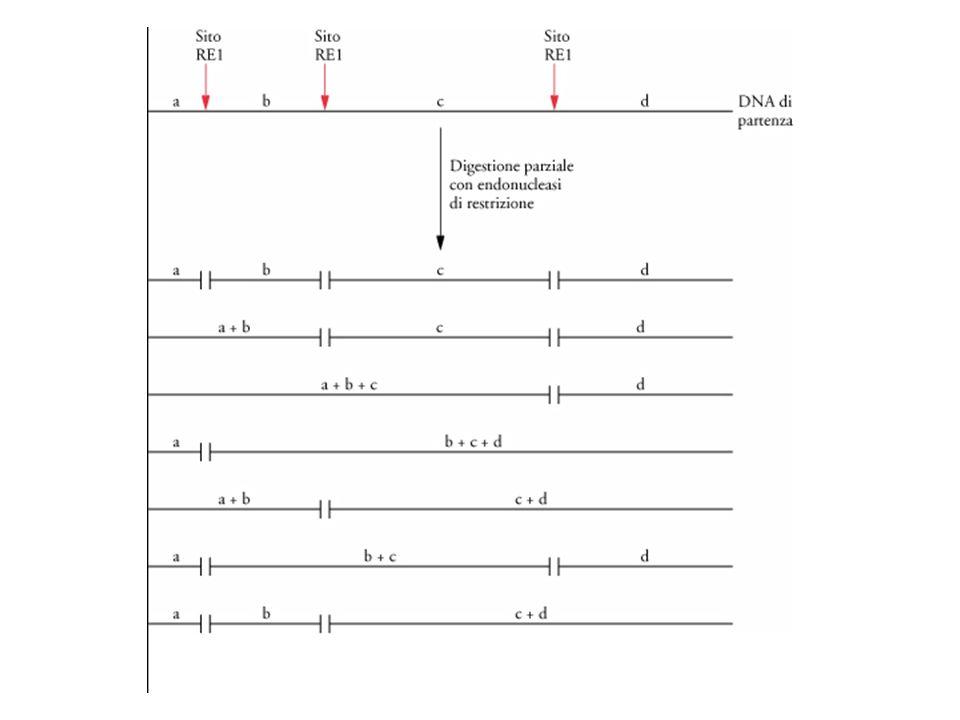 Spesso lo scopo degli esperimenti di biologia consiste nell'isolare geni atti a codificare proteine.