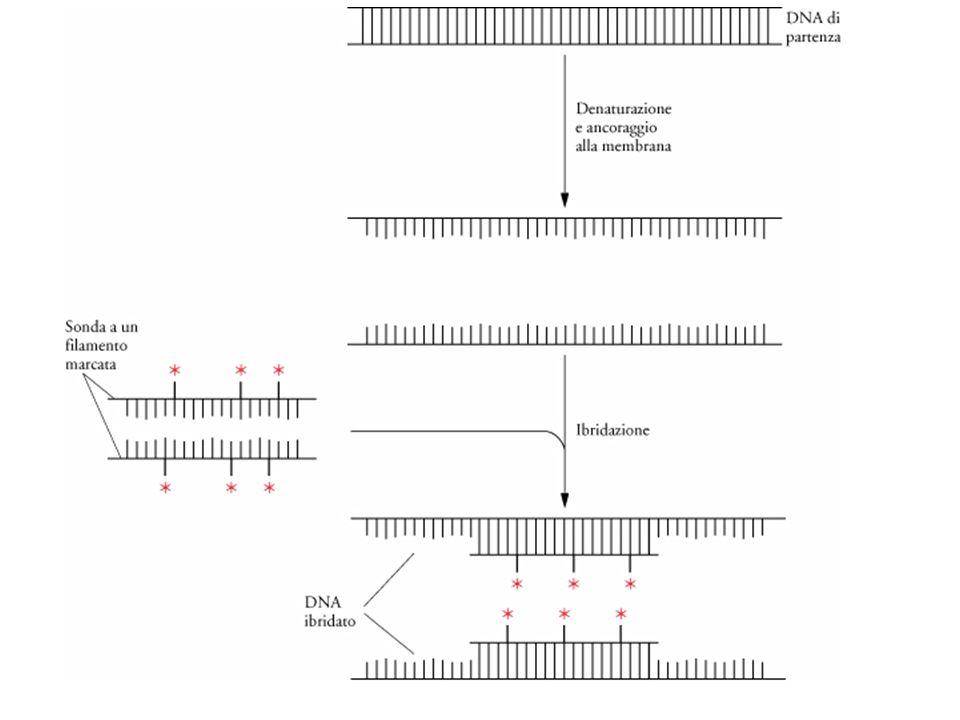 L'ibridazione del DNA.