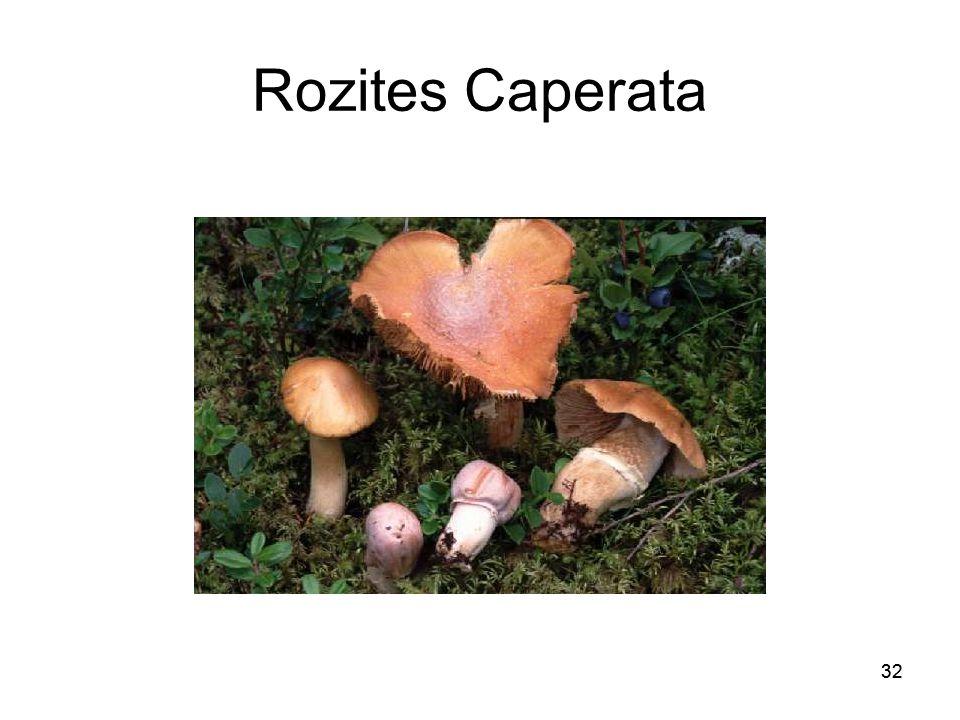 Rozites Caperata 32