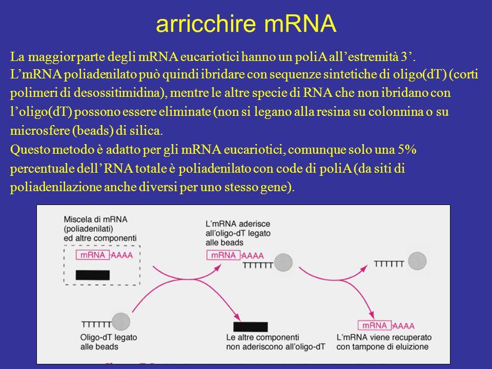 arricchire mRNA La maggior parte degli mRNA eucariotici hanno un poliA all'estremità 3'.