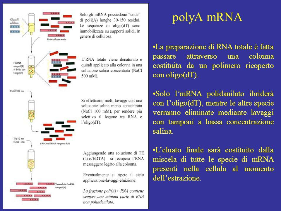 polyA mRNA La preparazione di RNA totale è fatta passare attraverso una colonna costituita da un polimero ricoperto con oligo(dT).