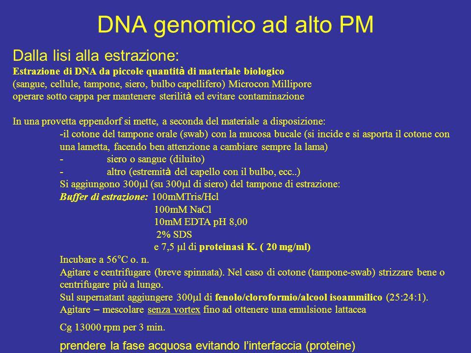 DNA genomico ad alto PM Dalla lisi alla estrazione:
