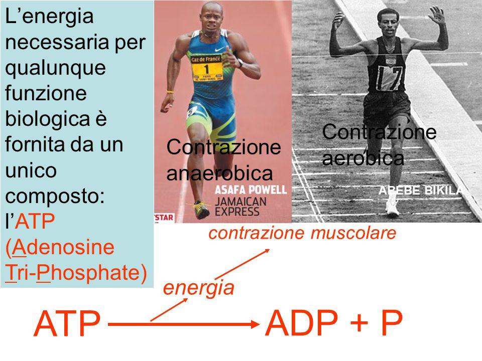 L'energia necessaria per qualunque funzione biologica è fornita da un unico composto: l'ATP (Adenosine Tri-Phosphate)