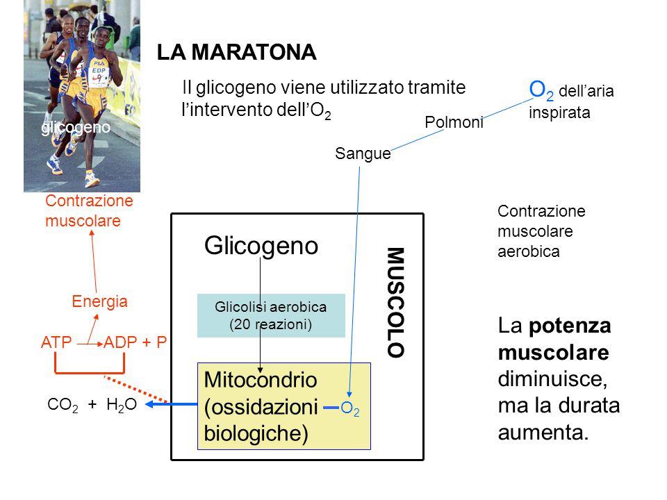 Glicolisi aerobica (20 reazioni)