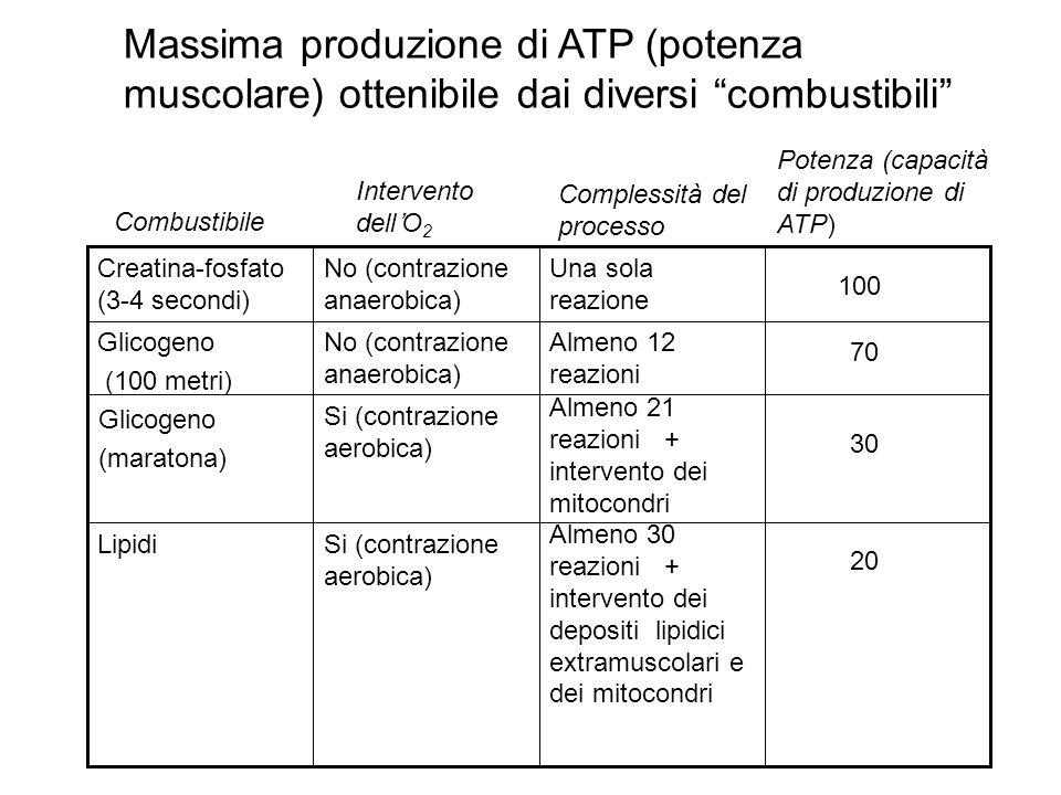 Massima produzione di ATP (potenza muscolare) ottenibile dai diversi combustibili