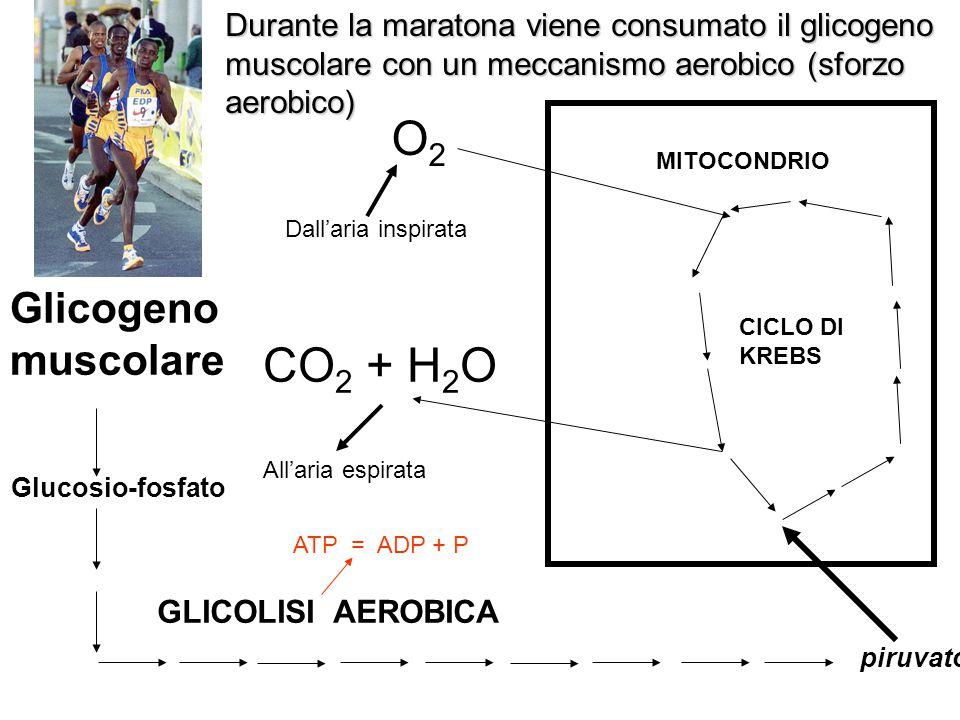 O2 CO2 + H2O Glicogeno muscolare