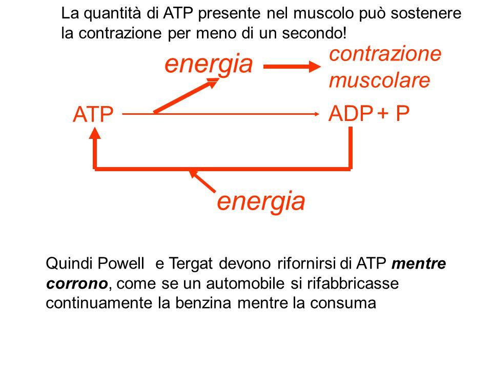 energia energia contrazione muscolare ATP ADP + P