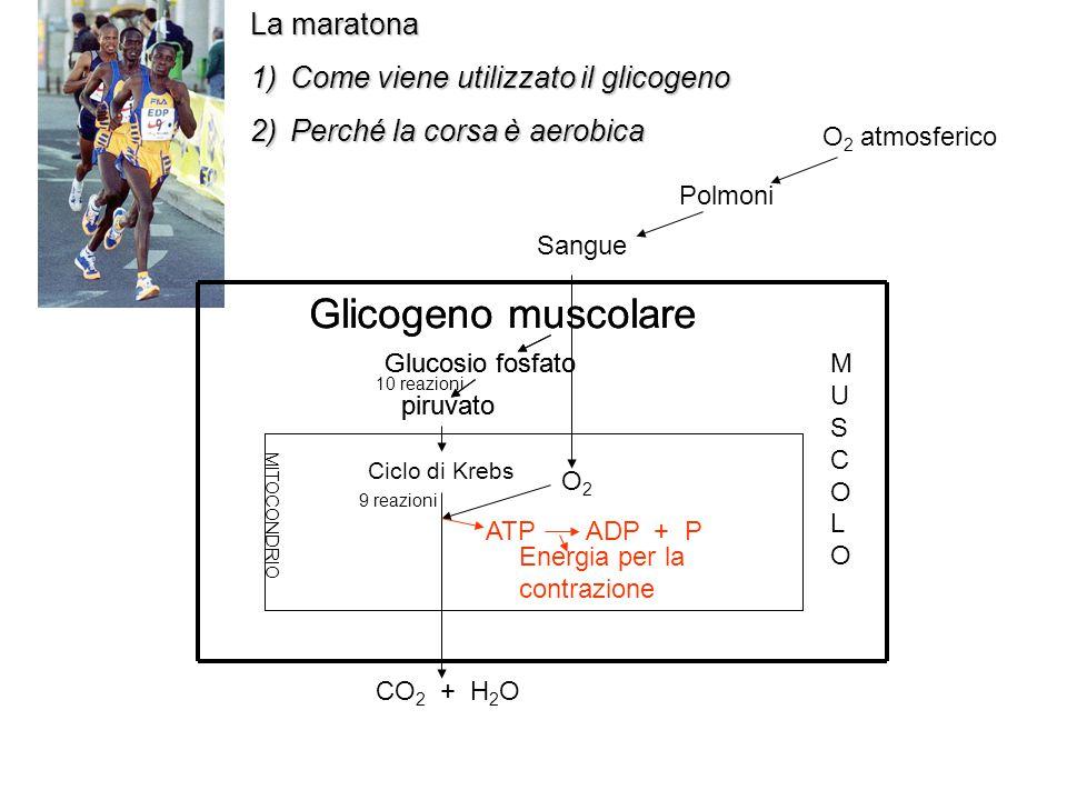Glicogeno muscolare Ciclo di Krebs La maratona
