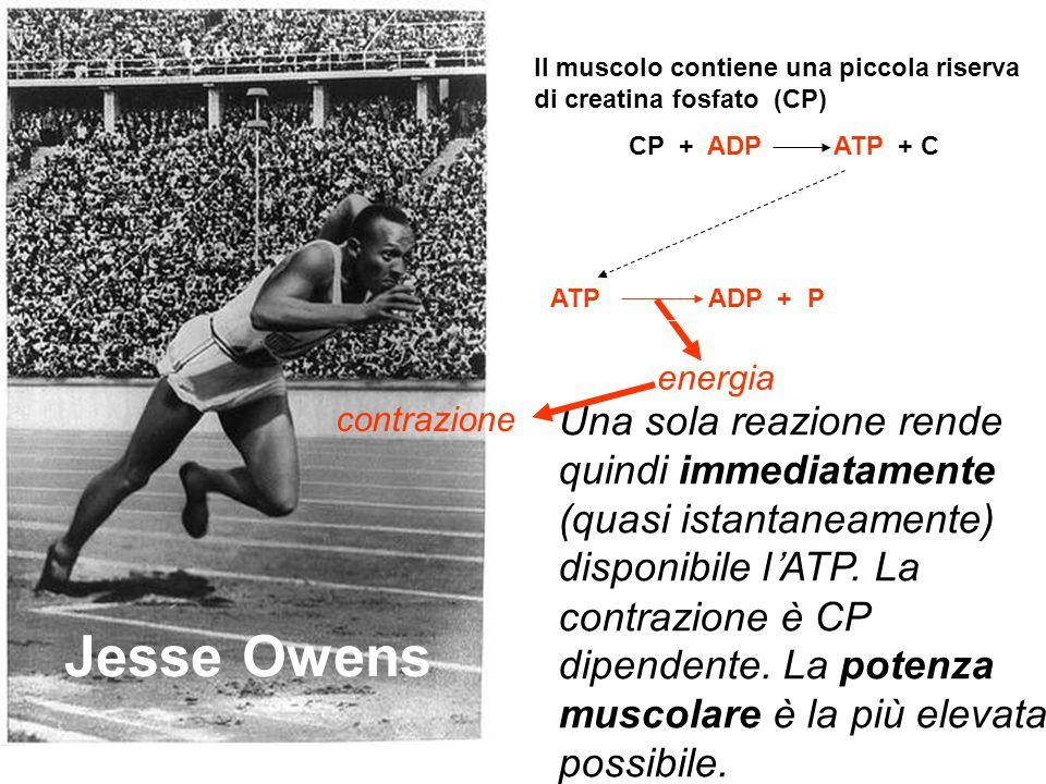 Jesse Owens Diminuisce la creatina-fosfato