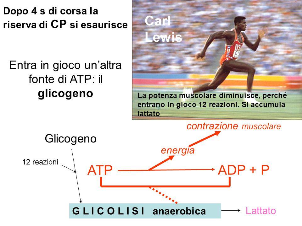 Entra in gioco un'altra fonte di ATP: il glicogeno