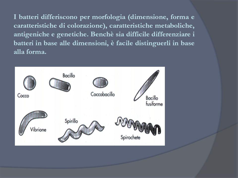 I batteri differiscono per morfologia (dimensione, forma e caratteristiche di colorazione), caratteristiche metaboliche, antigeniche e genetiche.