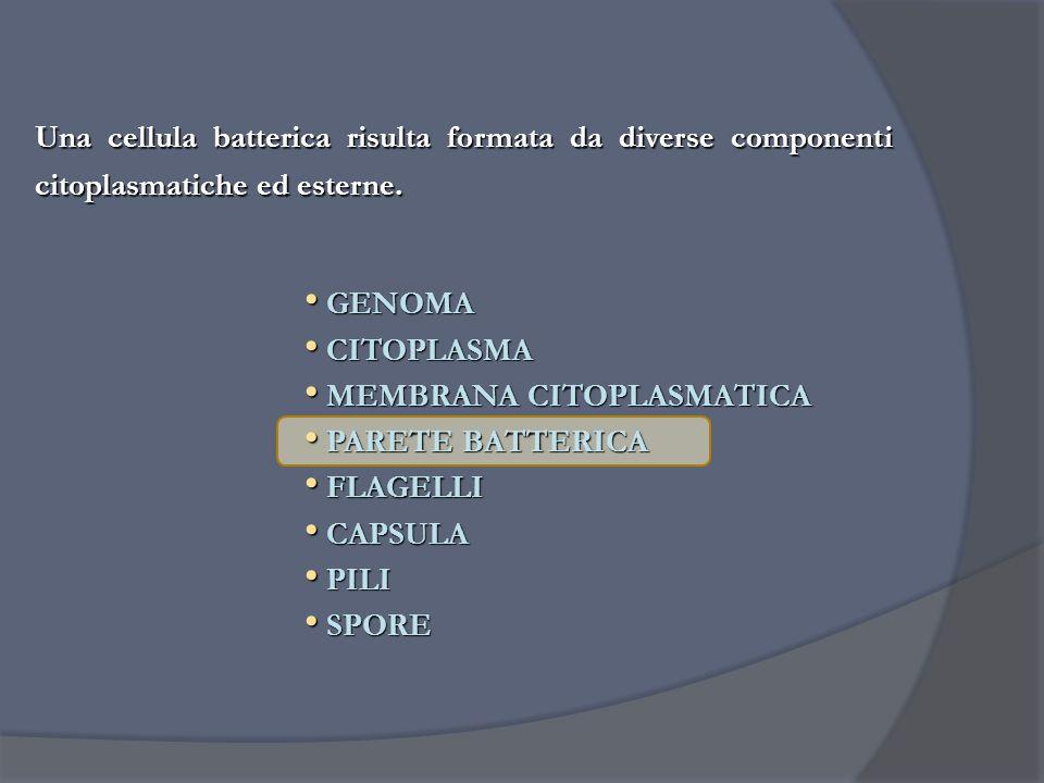 Una cellula batterica risulta formata da diverse componenti citoplasmatiche ed esterne.