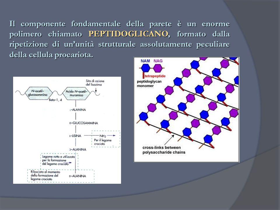 Il componente fondamentale della parete è un enorme polimero chiamato PEPTIDOGLICANO, formato dalla ripetizione di un'unità strutturale assolutamente peculiare della cellula procariota.