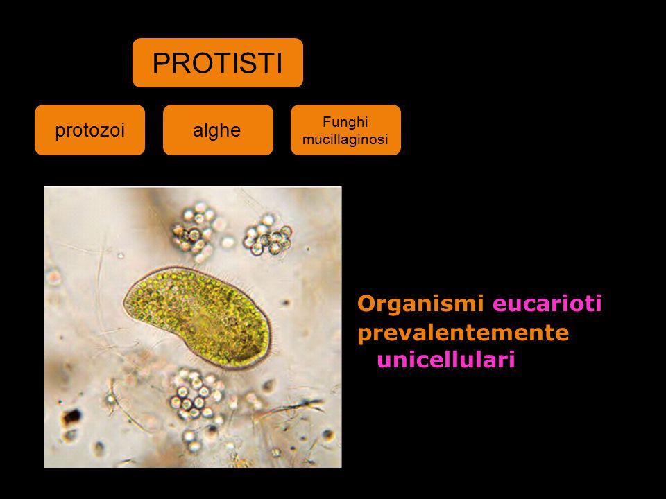 PROTISTI Organismi eucarioti prevalentemente unicellulari protozoi