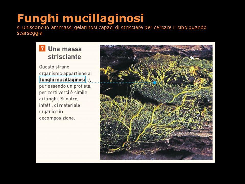 Funghi mucillaginosi si uniscono in ammassi gelatinosi capaci di strisciare per cercare il cibo quando scarseggia