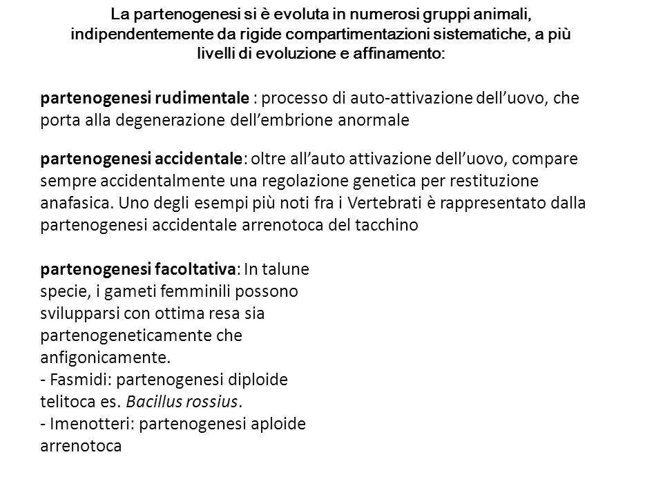 - Fasmidi: partenogenesi diploide telitoca es. Bacillus rossius.